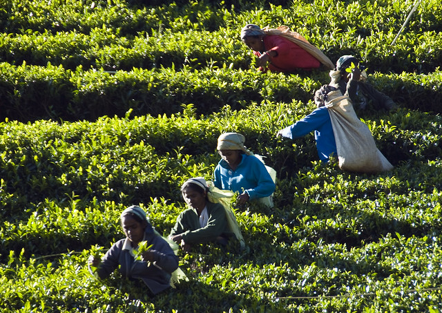 Tea plantations near Kandy Sri Lanka