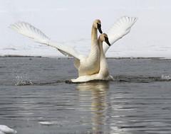 Swan Porn