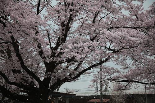 桜をもとめて少し北上