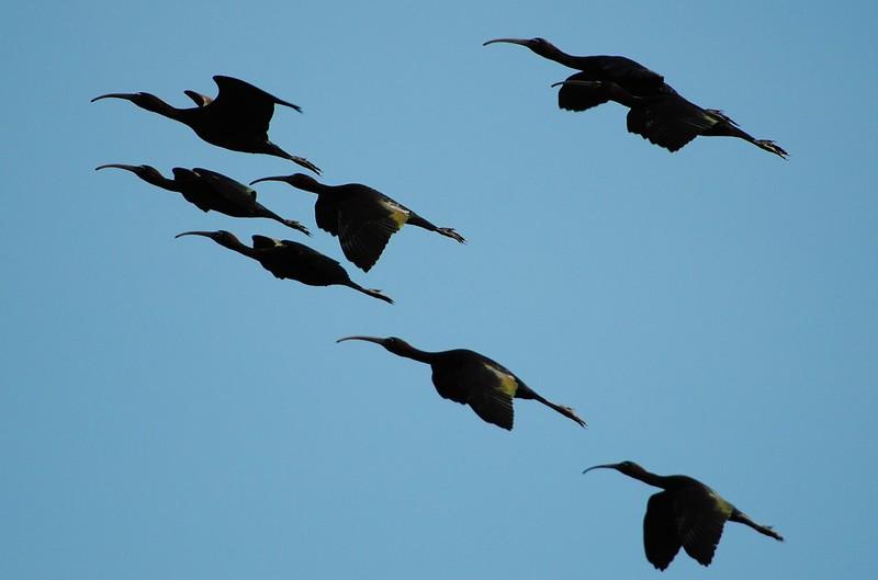 Glossy Ibis (Ибис)
