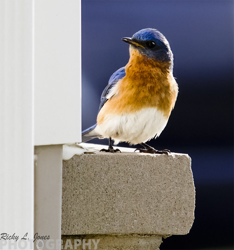 Bluebird by Ricky L. Jones Photography