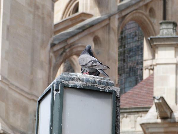 pigeons devant église.jpg