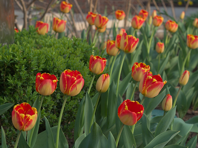 Red and yellow tulips 2