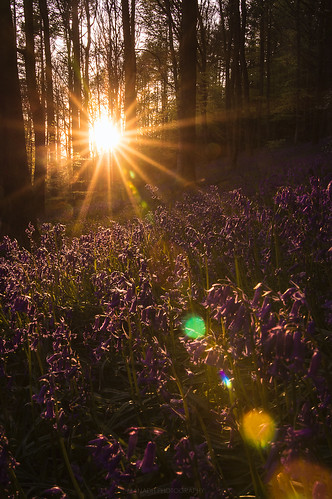 Bluebells and Flare