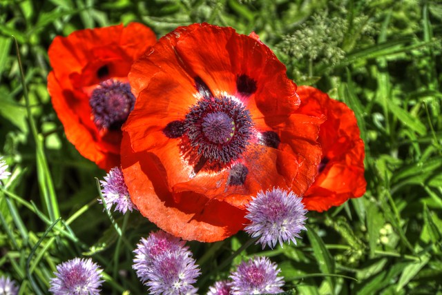 Memorial Day Poppies - View 01