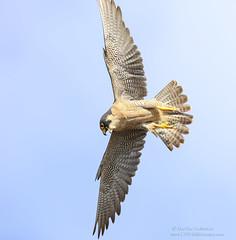 Peregrine Falcon Attack