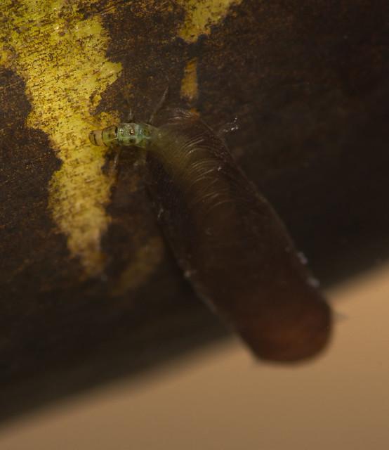 Micro caddisfly larva Agraylea multipunctata 2 edited