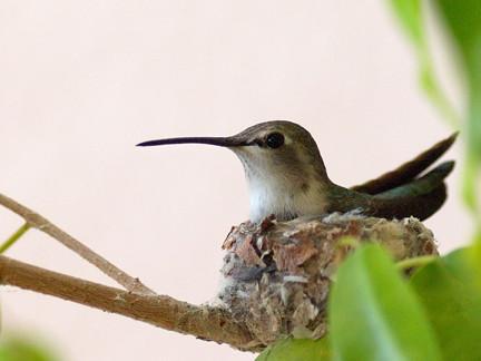 Feb 21 Mama Hummingbird