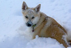 dog breed, animal, akita inu, west siberian laika, akita, dog, hokkaido, czechoslovakian wolfdog, snow, pet, norwegian buhund, shikoku, mammal, greenland dog, finnish spitz, korean jindo dog, wolfdog, saarloos wolfdog,