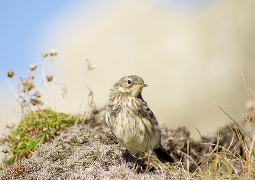 Rock Pipit, Cornwall by 1963chris