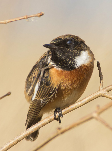 stonechat scratch