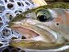 Upper Sacramento River - Caddis Eater