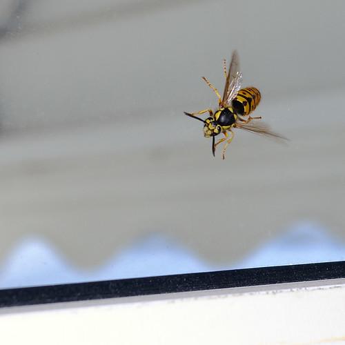 Wasp 1