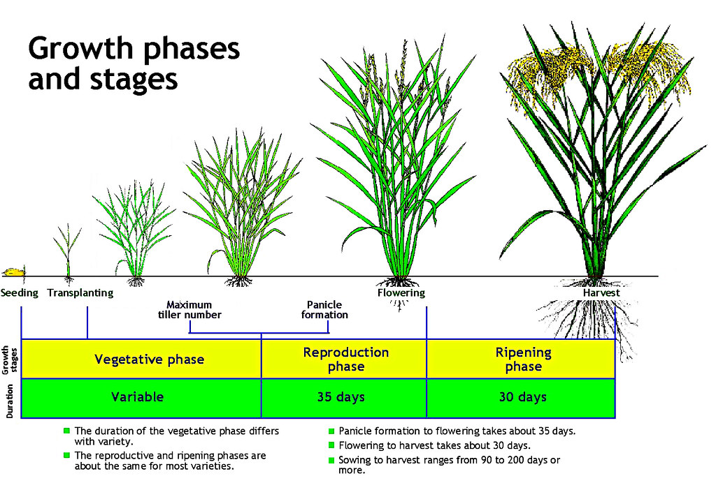 Rice Growth Stages Part Of The Image Collection Of The I