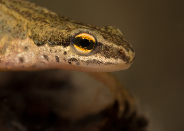 palmate newt from ed pond 2 100mm head shot edited