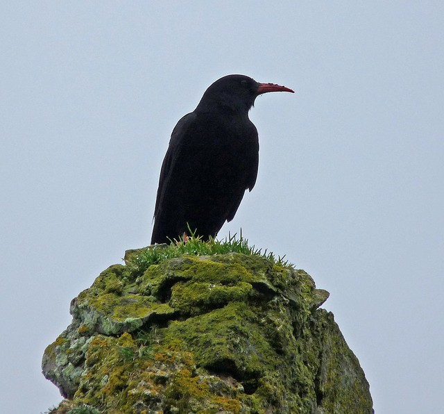 25669 - Chough, Port Eynon