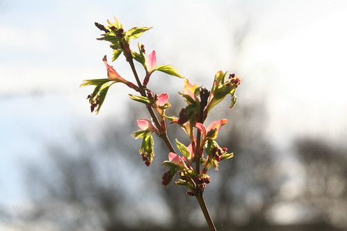 Japanese Maple Buds