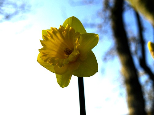 daffodil against the sky