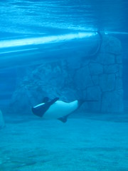 marine mammal, marine biology, killer whale, azure, whales, dolphins, and porpoises, underwater,