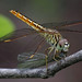 A female Brachythemis Contaminata preying on what looks like a newly emerged Pseudagrion Microcephalum