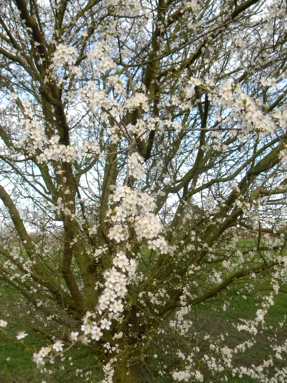 Early blossom Dare I hazard a guess? Cherry plum... Wakes Colne to Bures