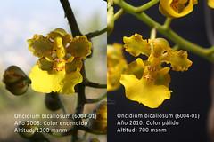 Oncidium bicallosum