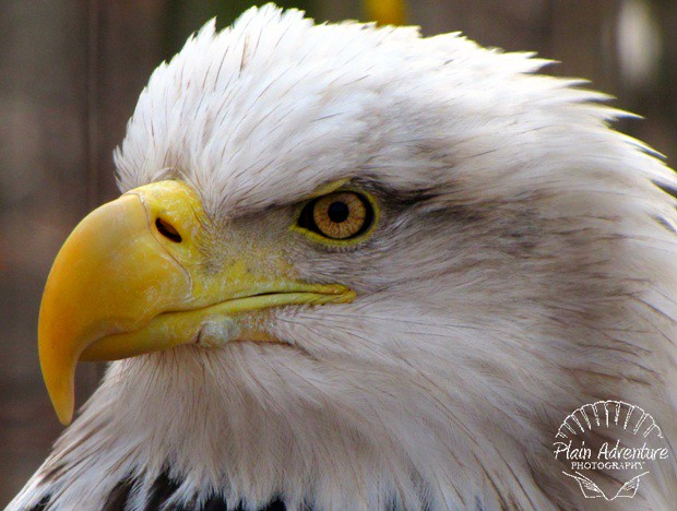 Wildlife Photography Number 1 – Bald Eagle