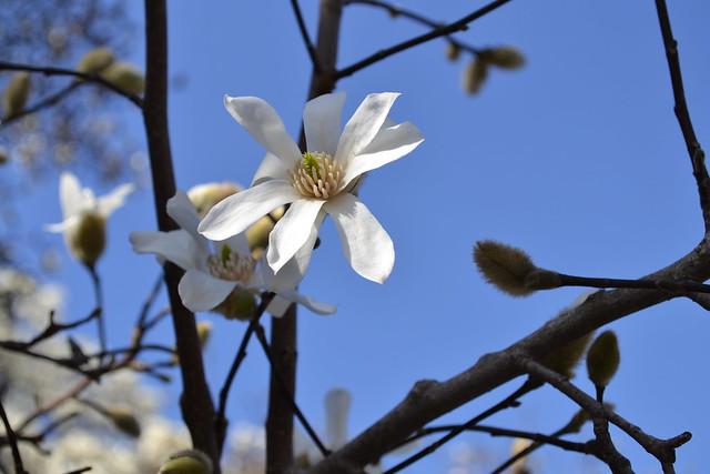 Magnolia x loebneri 'Leonard Messel' on Magnolia Plaza. Photo by Elizabeth Peters.