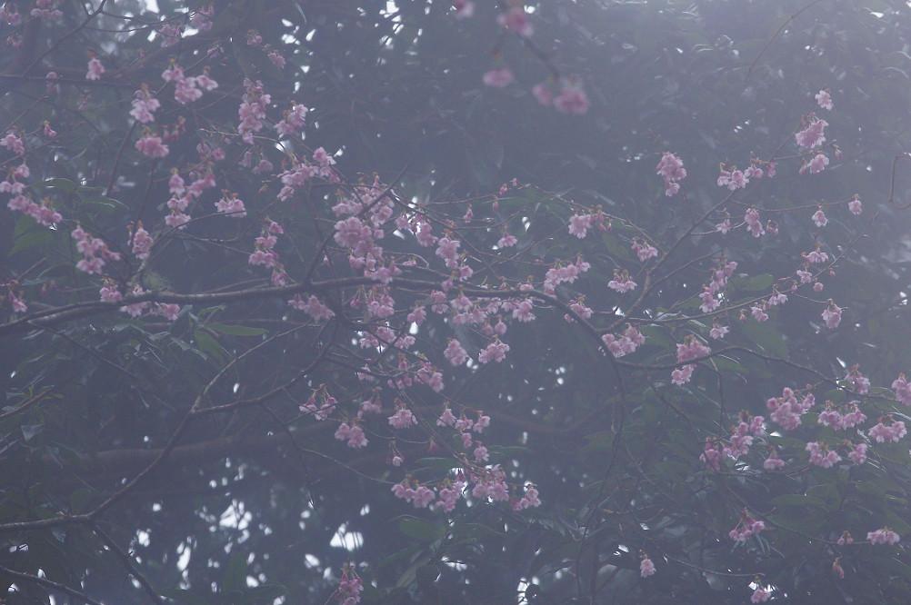 觀霧巨木步道-070