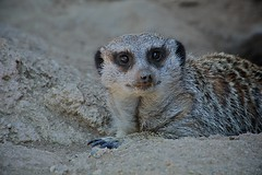 animal, mammal, fauna, close-up, whiskers, viverridae, meerkat, wildlife,