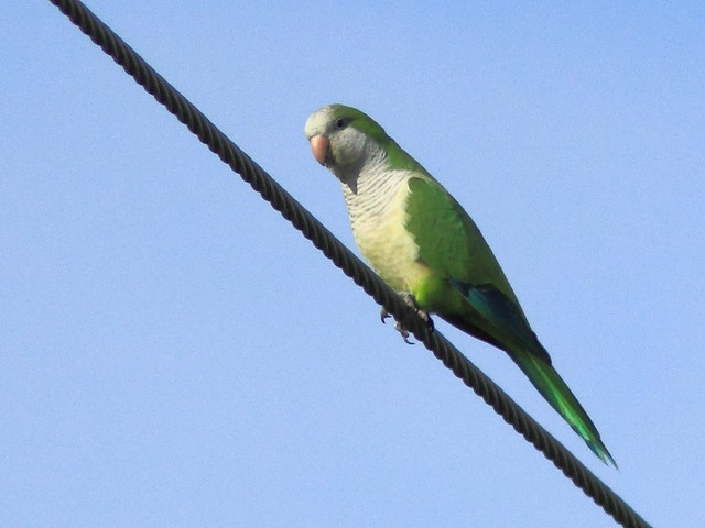 Monk Parakeet near eagle nest 20120202