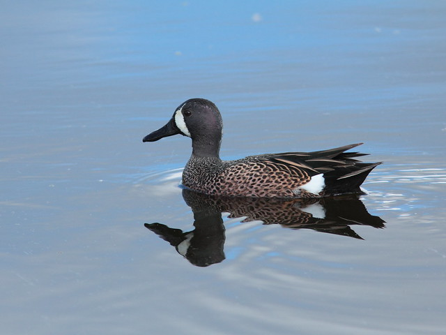 Blue-winged Teal 20120318