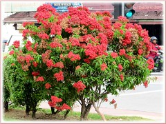 Beautiful Carphalea kirondron shrub, seen at a street junction in Penang, July 2011