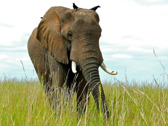 Header of African Savannah Elephant
