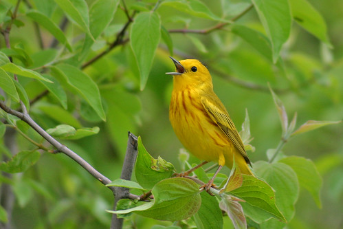 Yellow Warbler (Setophaga petechia) by Lee Dingain