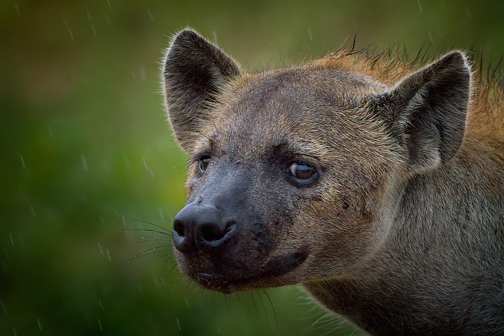 Matriarch Spotted Hyaena - Your Worst Nightmare (Explore)