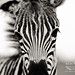 Zebra foal. Addo National Park. South Africa. by Keri Platt Photography