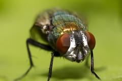 Blow fly (Diptera - Calliphoridae)