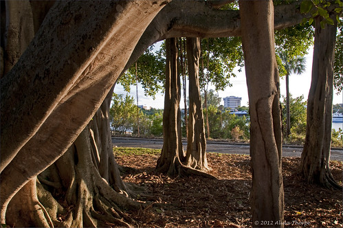 Ficus tree by Alida's Photos