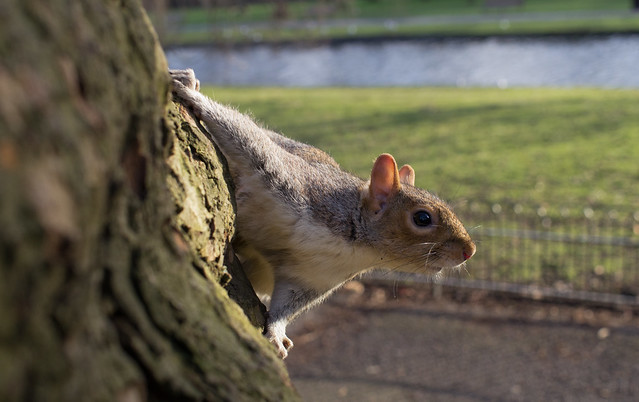 grey squirrel wide angle on tree