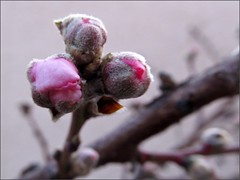 Double Delight nectarine flower buds