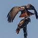 Fordham Hawks - 2012