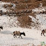 Iranian Man and Donkeys - Kandovan, Iran