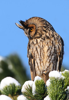 Long-eared Owl (Eyrugla)-2