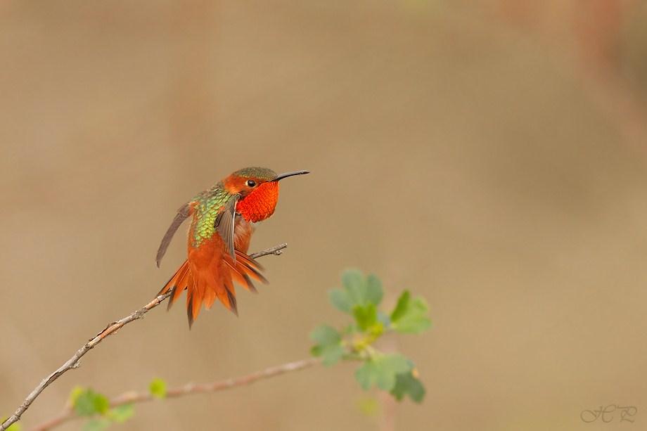 Allen's Hummingbird 022012-6