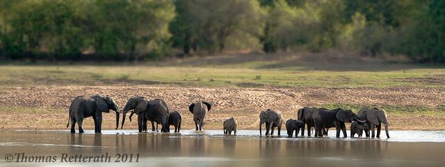 Elephants of the Luangwa