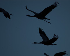animal migration, animal, wing, silhouette, illustration, bird migration, crane-like bird, bird, flight,