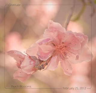 February 25, 2012 Peach Blossoms