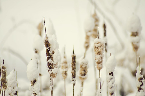 Winter Cattails {Explored}