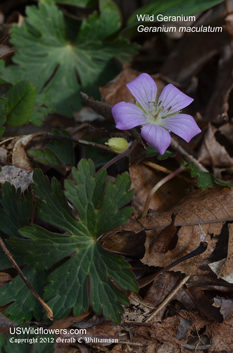 Wild Geranium - Geranium maculatum by USWildflowers, on Flickr